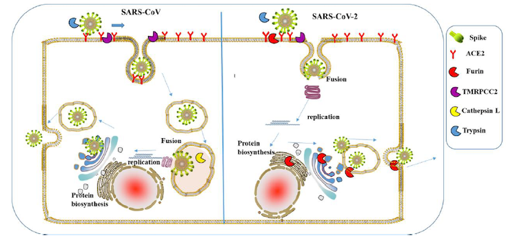 Covid-19 Patent Analysis - Figure 2: Interaction of S glycoprotein of SARS-CoV and SARS CoV-2 with human cell surface proteins. Note that SARS-CoV-2 has cleavage site for Furin protease Source: Furin, a potential therapeutic target for COVID, Hua Li et al, chinaXiv:202002.00062v1